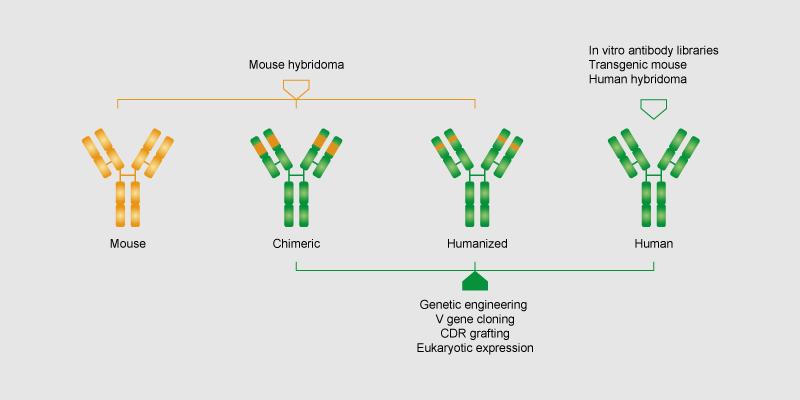 详细咨询,请点击! 将由噬菌体展示或小鼠/大鼠杂交瘤细胞株得到的scFV或Fab人/小鼠抗体片段,拼接为带有不同功能的Fc片段(如ADCC或非ADCC)的全长重组人/小鼠IgG。 嵌合抗体构建: 1.嵌合抗体表达载体构建:ScFv或Fab抗体基因是由噬菌体展示术或小鼠/大鼠杂交瘤细胞株中获得。我们将ScFv或者Fab基因克隆到专有的哺乳动物表达载体,载体序列中包含人类或小鼠的抗体轻链和重链的恒定区域。 2.